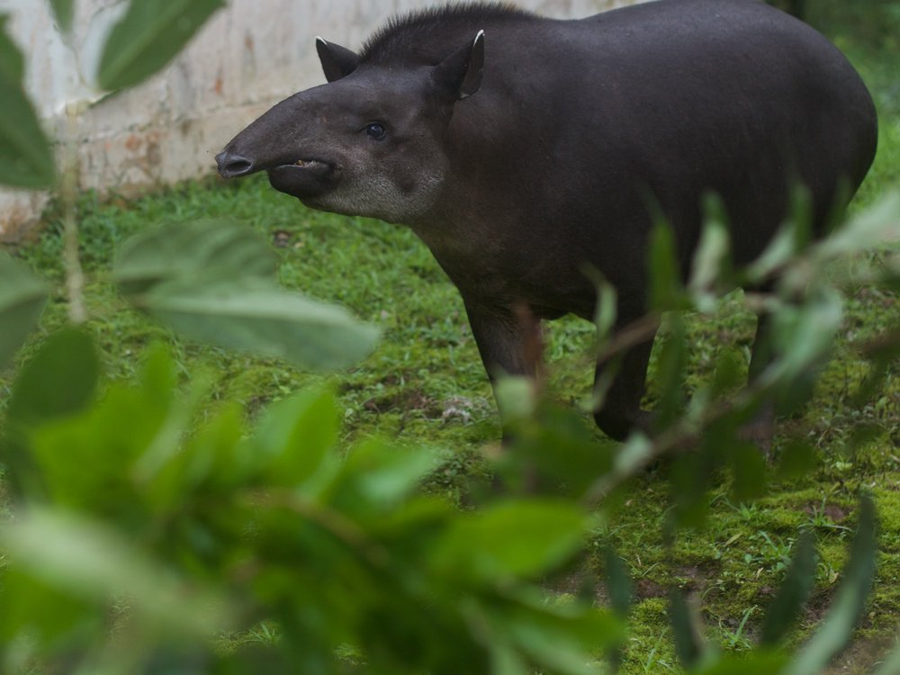 Omaca, the sample eating Tapir (tried, but did not succeed). Jokes aside, a remarkable animal to be around while doing science! Photo credit: Benjamin Blonder.