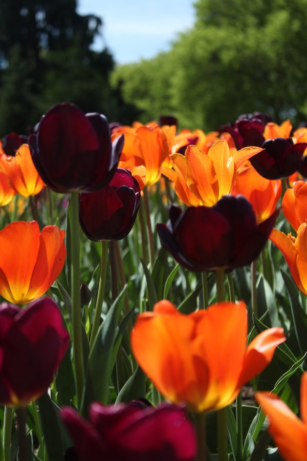 Tulips in the Springtime thumbnail