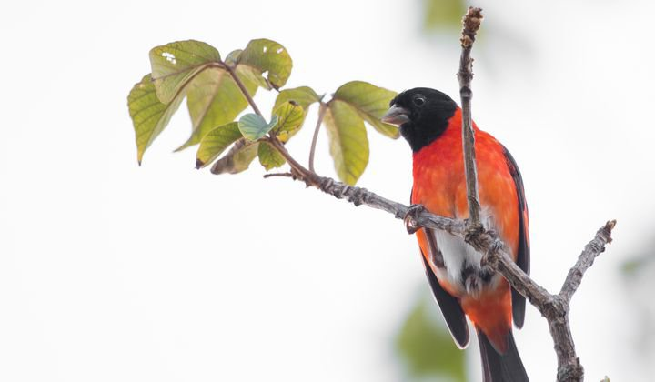 The red siskin or cardenalito is inextricably linked with Venezuela's identity, yet it is now rare in its natural habitat.