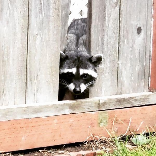 Raccoon won the staring contest  thumbnail
