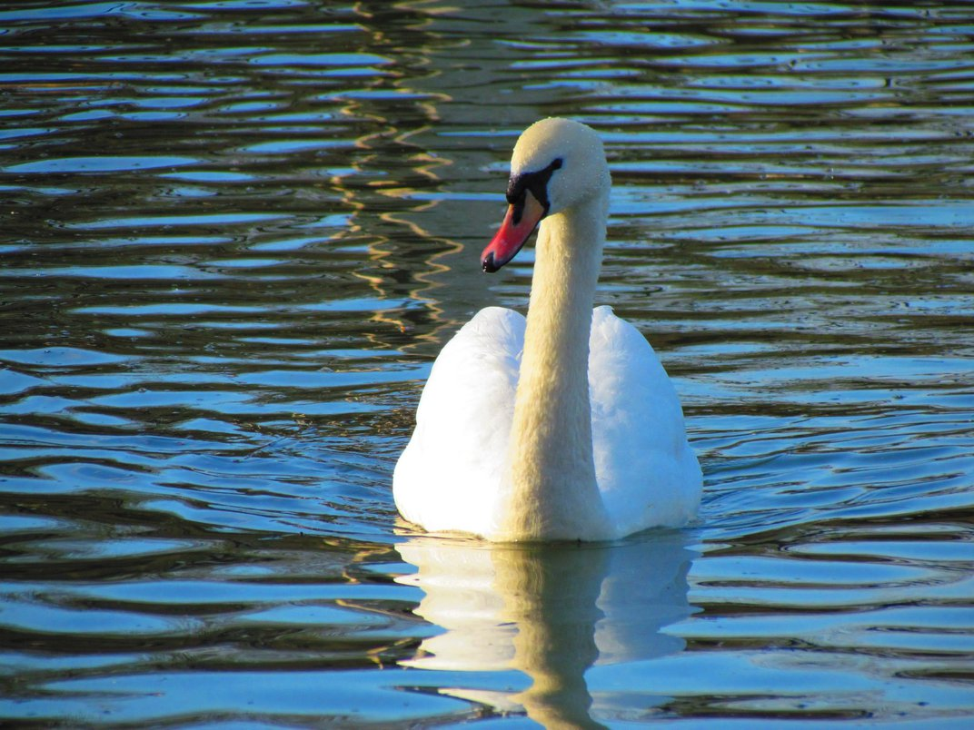 The Fascinating, Regal History Behind Britain's Swans