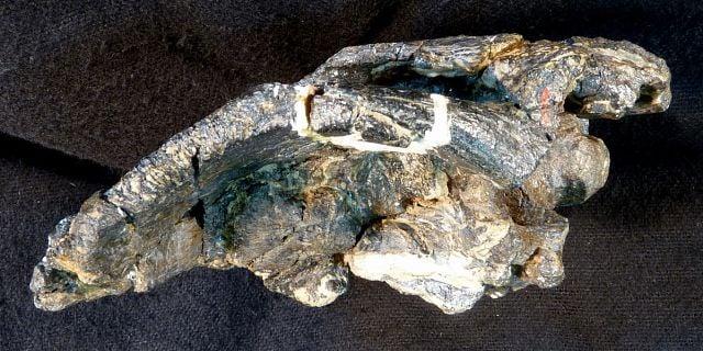 A dinosaur fossil on a black background.