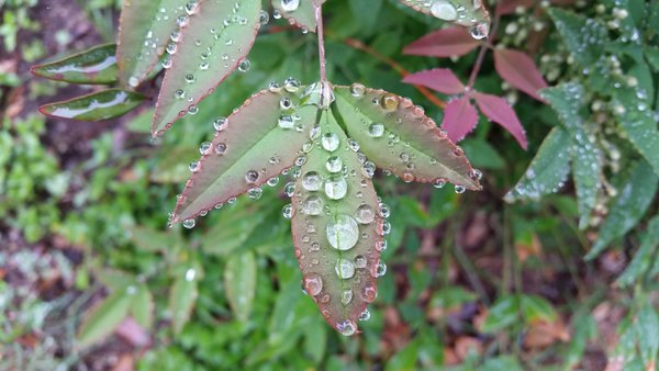 Leaves bejeweled with raindrops in a Spring rain. thumbnail