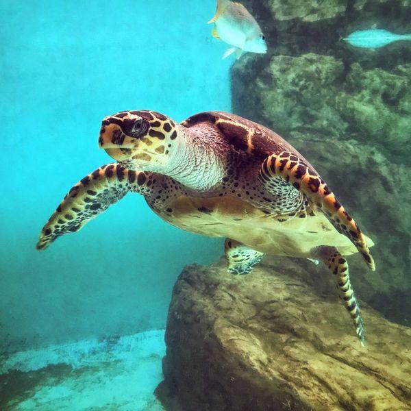 Olive Ridley Turtle (Golfina) thumbnail