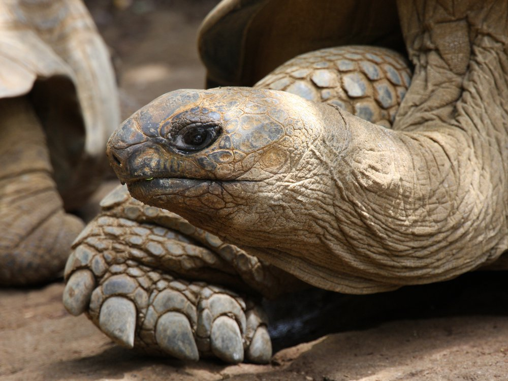 Close up of the face and front foot of a brown-colored giant tortoise