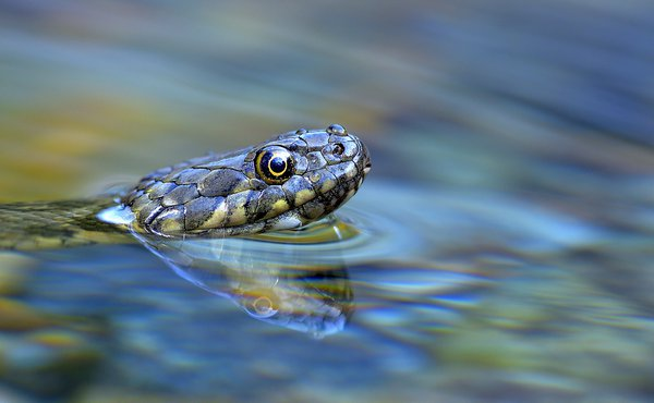 Dice snake in the water thumbnail