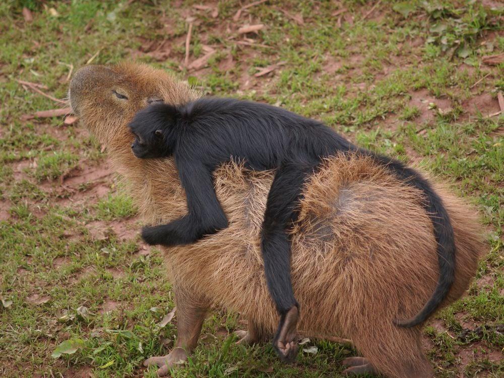 02_07_2014_capybara monkey.jpg