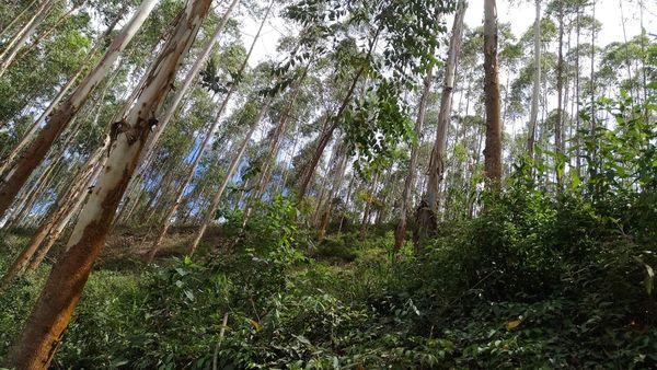Eucalyptus forest. thumbnail