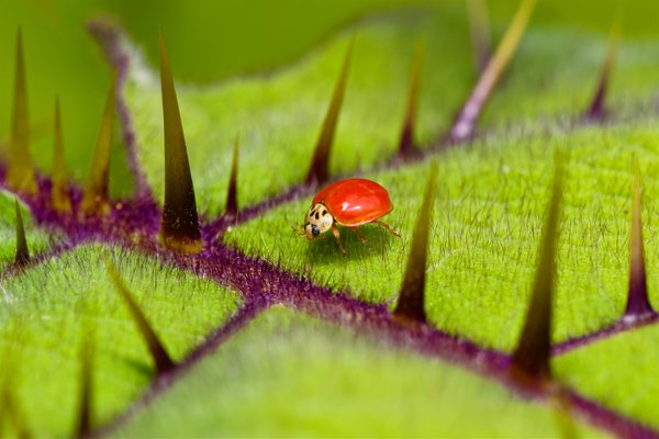 A lady beetle on the upper leaf surface of Solanum quitoense. thumbnail