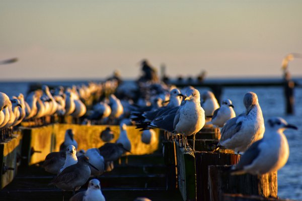 A gathering of seagulls on an old pier.  thumbnail