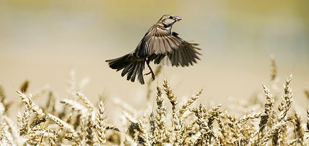 Sparrow flying above wheat field