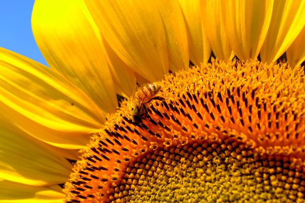 Honeybee on a Sunflower thumbnail