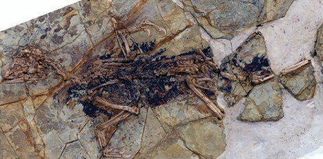 The skeleton of Xiaotingia (head is to the left)