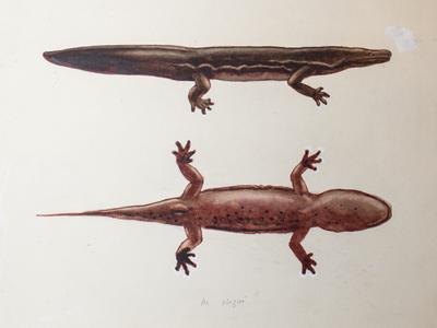 Sketches of the salamanders.