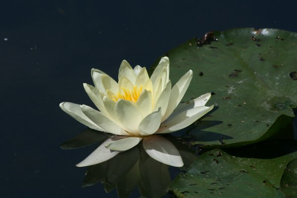 Water Lily in Monet's Garden thumbnail