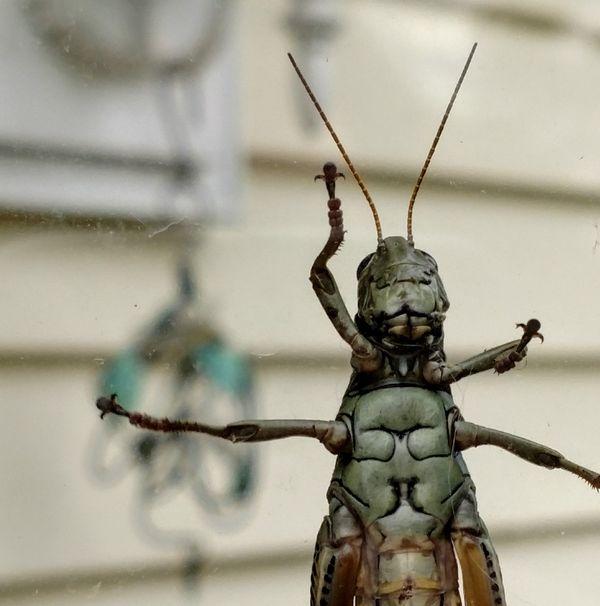 Grasshopper at the door! thumbnail
