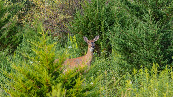 White Tail Deer on Alert with Fly on Forehead thumbnail
