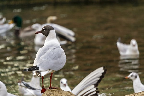 A male of black-headed Gull (Chroicocephalus ridibundus) thumbnail