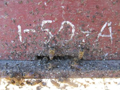 Asian honey bees applying animal feces at the entrance of their hives to ward off attacks from hornets.