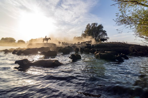 Domestic buffalo crossing a lake in the Kayseri thumbnail