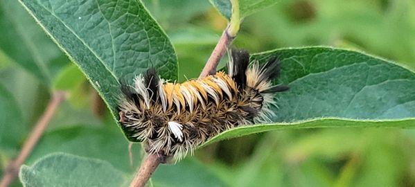 Milkweed tiger moth thumbnail