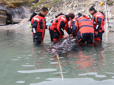 A narwhal being capture and tagged for the study
