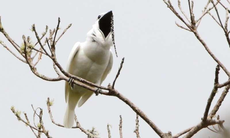 1-whitebellbir.jpg