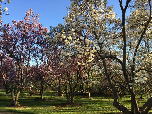 Magnificent magnolias thumbnail