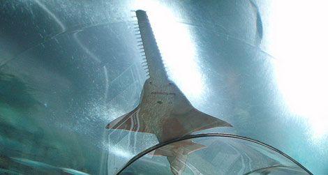 20120323104049sawfish-thumb.jpg