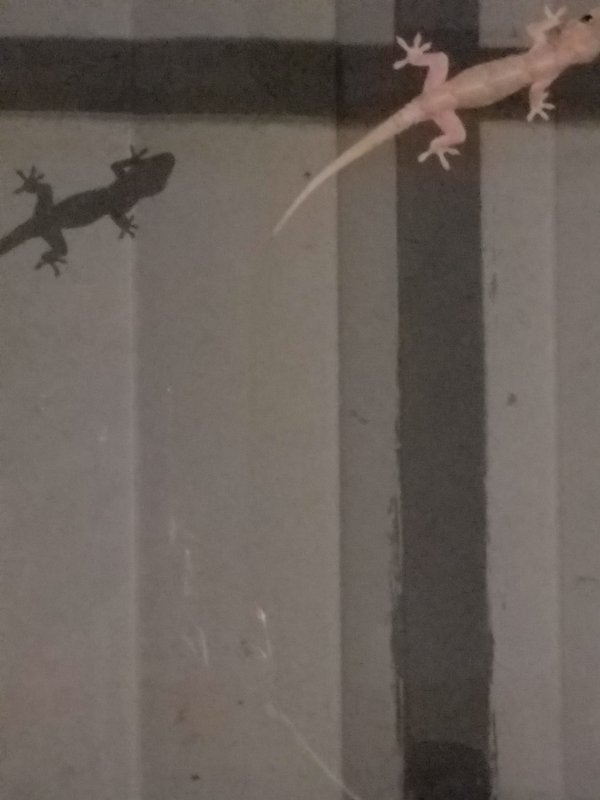 gecko and its show on window thumbnail