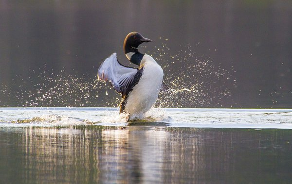 A quora, aslyum, cry or water dance of loons and they interact with each other by dancing on the water. thumbnail