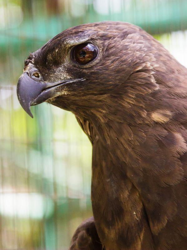Eagle Portrait thumbnail