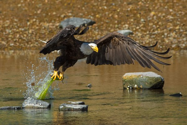 Eagle Catch thumbnail