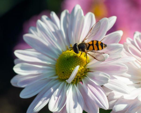 Wasp on camomile thumbnail