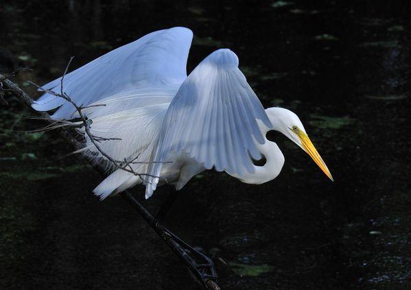 Egret in shade thumbnail
