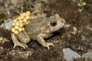 midwife-toad-520-300x200.jpg