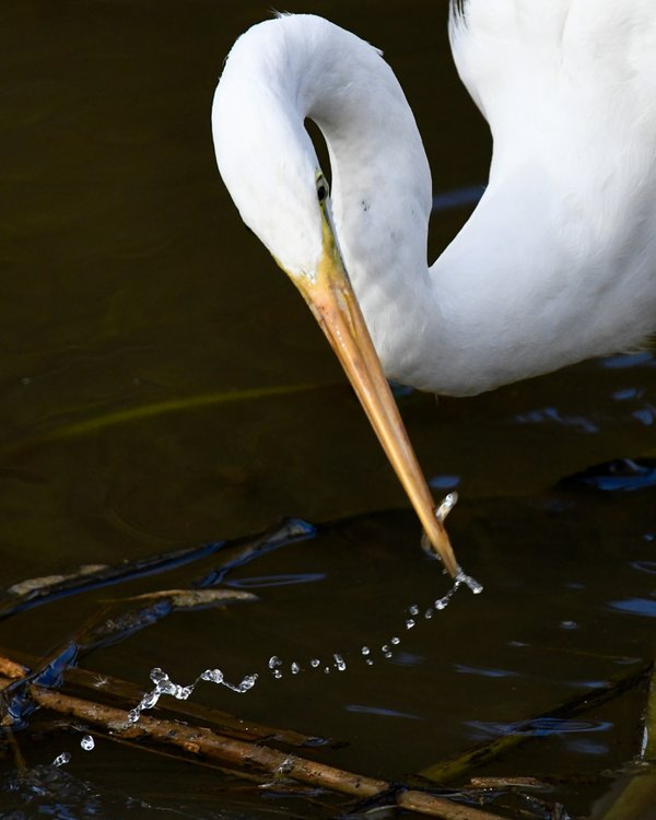 Trail from the pond: minnow & great egret thumbnail