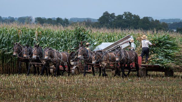 Amish Corn Harvest thumbnail