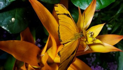 The most colorful, dazzling jewels in the National Museum of Natural History have wings, and they are in the Butterfly Pavilion!