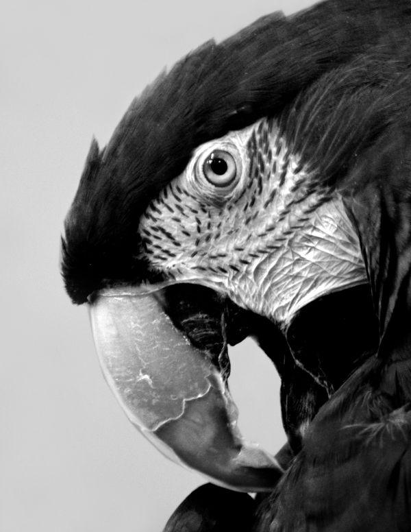 Macaw Portrait thumbnail