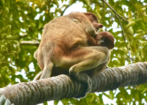 Wild and wonderful Proboscis monkeys, a mother and her baby thumbnail