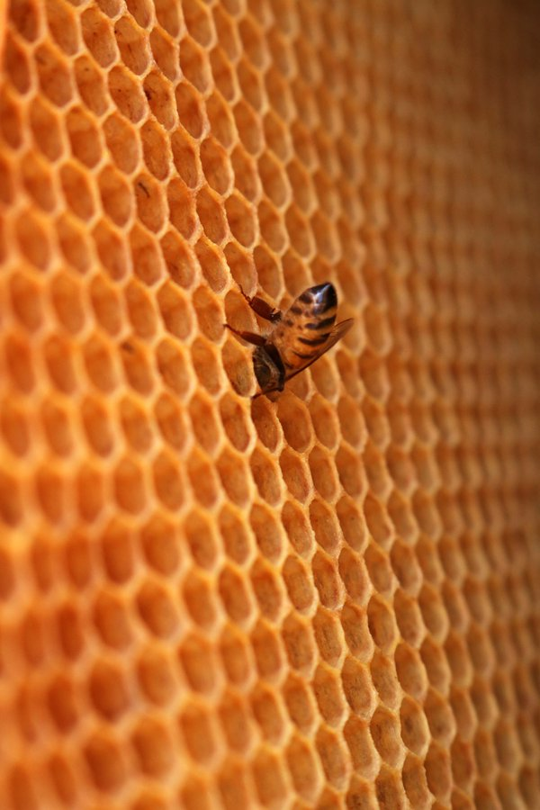 A lone honeybee fills a comb cell thumbnail