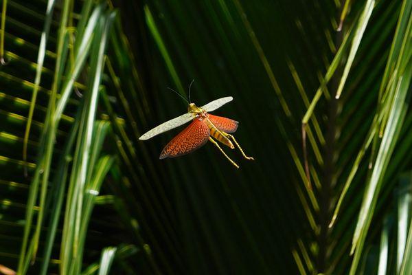 Giant Grasshopper thumbnail