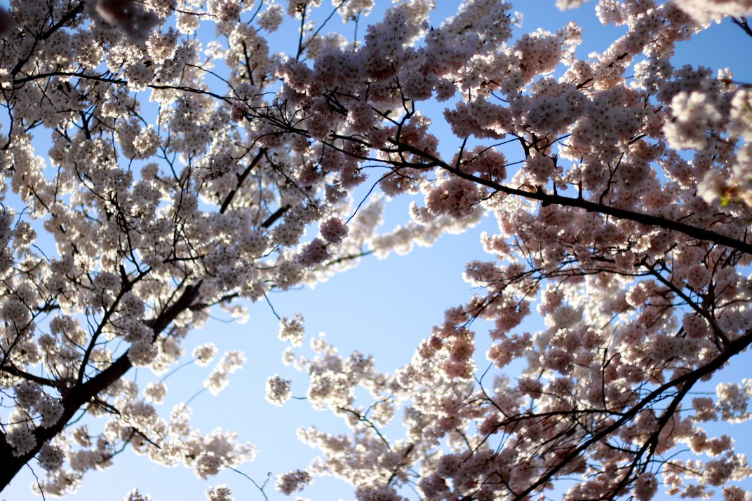 Cherry blossoms in DC. | Smithsonian Photo Contest
