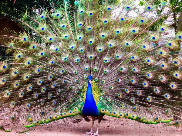 Peacock thumbnail