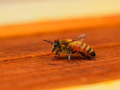 European honeybees are used by commercial beekeepers worldwide to pollinate crops and produce honey.