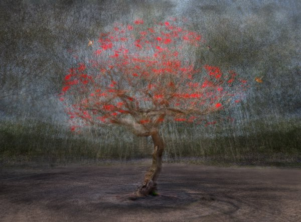 The blossoming Coral tree thumbnail