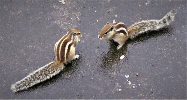 Sibling squirrels having a morning bite thumbnail