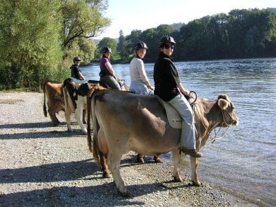 Cow trekking at Bolderhof.