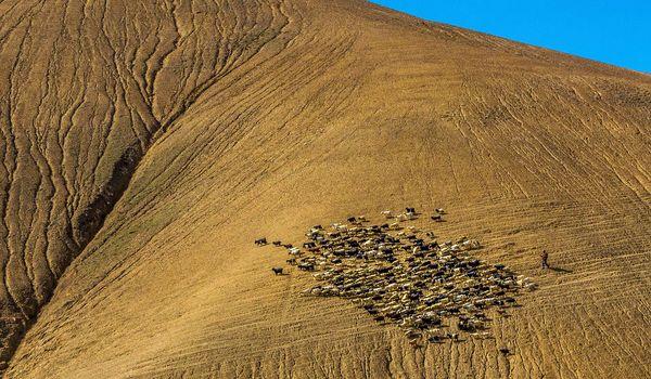 Himalayn Shepherd thumbnail